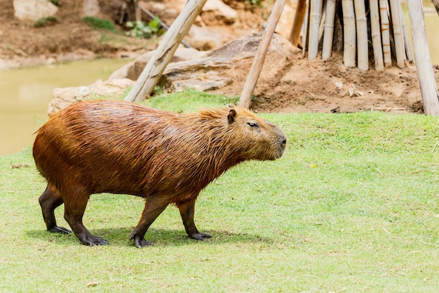 Ig capybara (hydrochoerus hydrochaeris) in de dierentuin