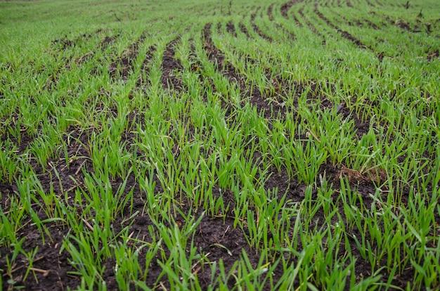 Ijs op het gras in het veld. droog gras na een ijsplank. sneeuw en vorst op de planten. ijs gras. ijs verhaal.