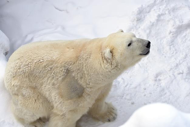 Ijsbeer in de sneeuw grote wilde dieren close-up met dikke witte vacht