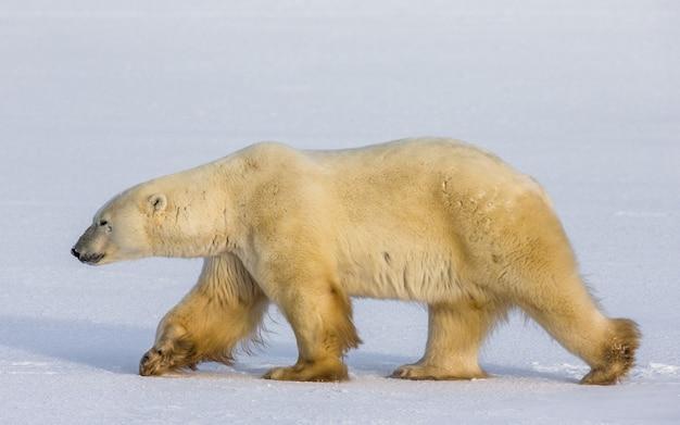 Ijsbeer op de toendra. sneeuw. canada.
