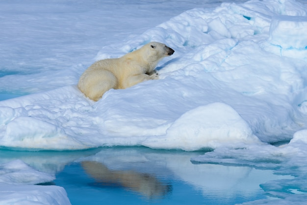 Ijsbeer op het ijs