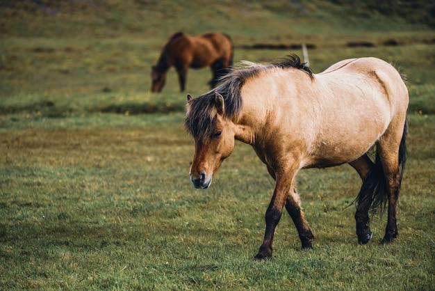 Ijslands paard in de schilderachtige natuur van ijsland.