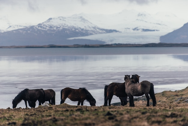 Ijslandse paarden in de natuur
