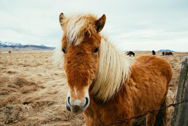 Ijslandse paarden in een veld