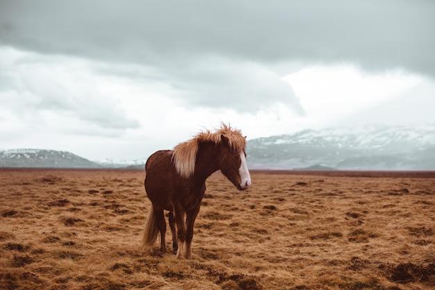 Ijslandse paarden lopen vrij