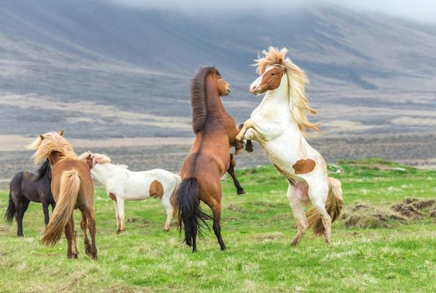 Ijslandse paarden vechten