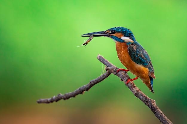 Ijsvogel (alcedo atthis) houdt de garnalen in de mond en zit op een tak. vogel. dieren.