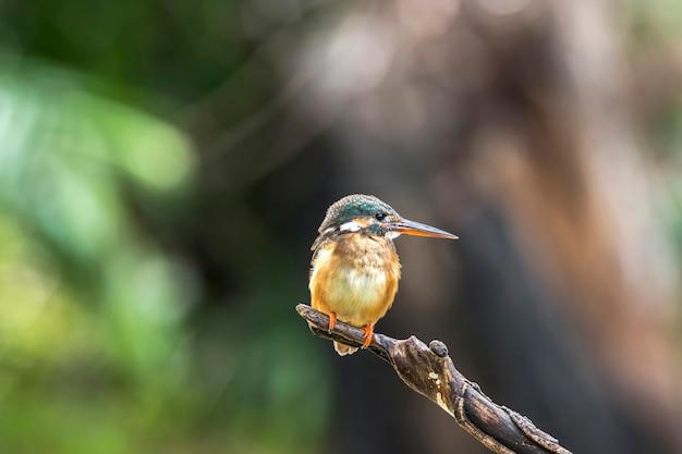 Ijsvogel (alcedo atthis) prachtige kleur met visvangst op een tak in thailland