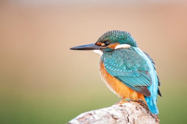Ijsvogel alcedo atthis zittend in de natuur