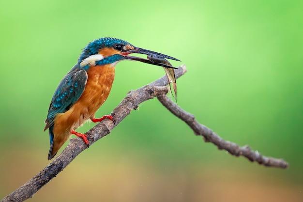 Ijsvogel houdt de vis in de mond en zit neer. vogel. dieren.