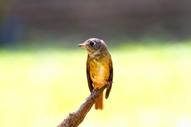 Ijzerhoudende vliegenvanger (muscicapa ferruginea) op de tak in de natuur
