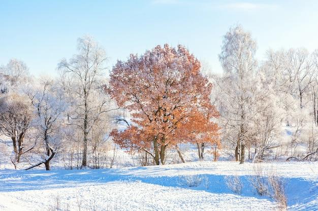 Ijzige bomen in besneeuwde bossen, koud weer in zonnige ochtend in winter park