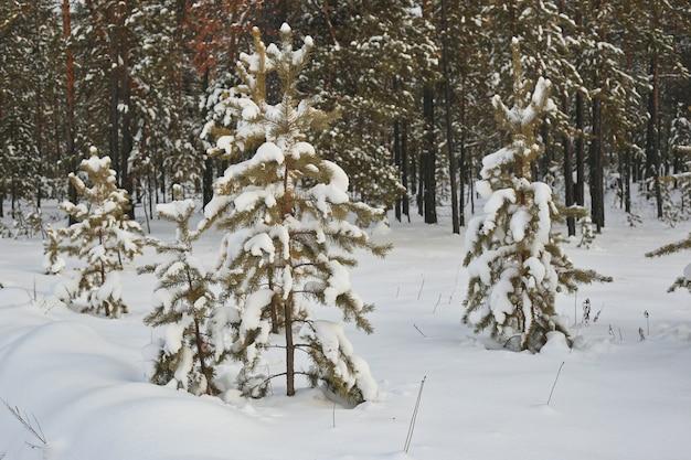 Ijzige dag in besneeuwde naaldbossen