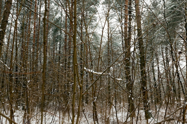 Ijzige winter na sneeuwval met lange dennen of sparren, winterweer in het park of bos en dennen sparren, sparren en dennen in het winterseizoen