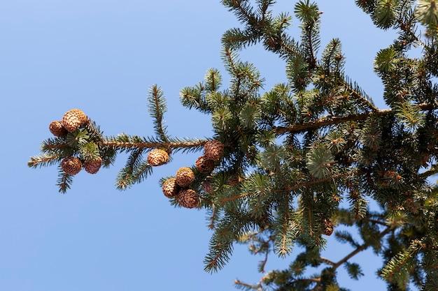 Ijzige winter na sneeuwval met lange dennen of sparren, winterweer in het park of bos en dennensparren, sparren en dennen in het winterseizoen