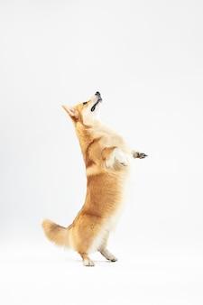 Ik kan hoger zijn. welsh corgi pembroke puppy in beweging. het leuke pluizige hondje of het huisdier speelt geïsoleerd op witte achtergrond. studio fotoshot. negatieve ruimte om uw tekst of afbeelding in te voegen.