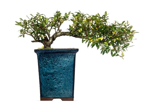 Ilex bonsaiboom, geïsoleerd op wit