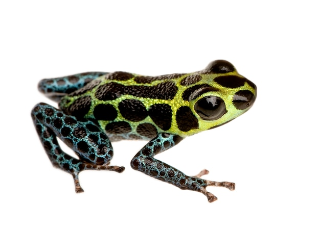 Imitating poison frog - ranitomeya-imitator op een geïsoleerd wit