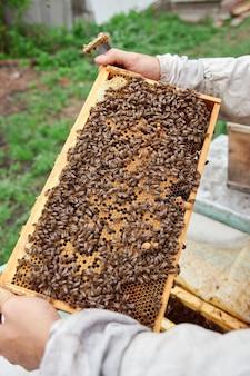 Imker bedrijf frame van honingraat met bijen. imker in beschermende werkkleding die honingraatframe inspecteert bij de bijenstal, honing oogsten.