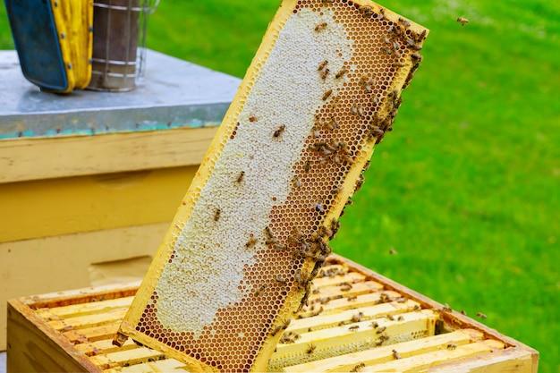 Imker controleert bijenkorven met bijen, zorgt voor frames honingraat vol bijen