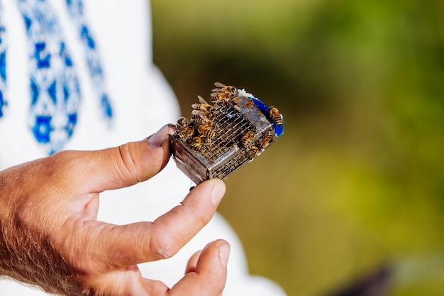 Imker die een metalen koningin kooi met kleine zwerm bijen houdt