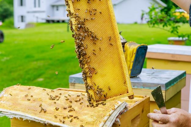 Imker die met bijen werken die zich dichtbij bijenkorven op de bijenstal in de zomer inspecteren frame vol met bijen in een zonnige dag.