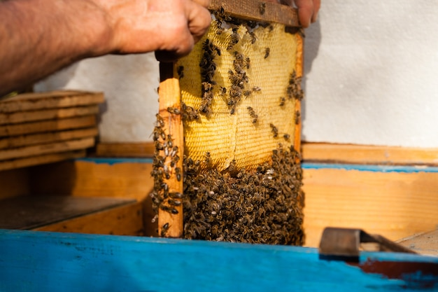 Imker houdt de honingraat vast met bijen