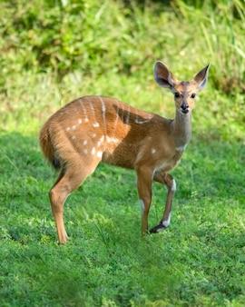 Impala antilope murchison falls national park oeganda afrika