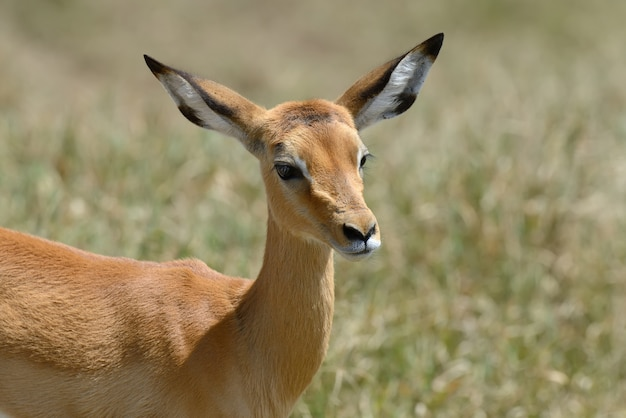 Impala op savanne in nationaal park van afrika, kenia