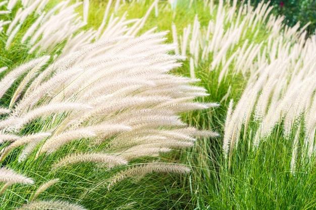 Imperata cylindrica beauv gras in de natuur