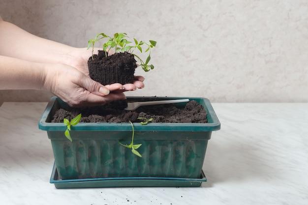 In de handen van vrouwen is er een lage zaailing van peper. vlakbij staat een bak waarin planten worden geplant