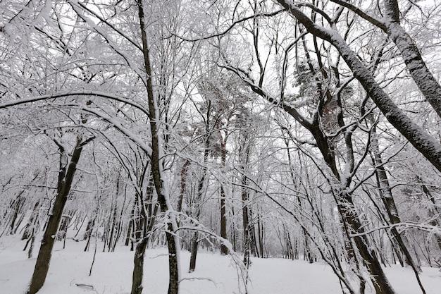 In de sneeuw, loofbomen in het winterseizoen, koud winterweer in de natuur na sneeuwval en vorst, loofbomen van verschillende rassen na sneeuwval in het park