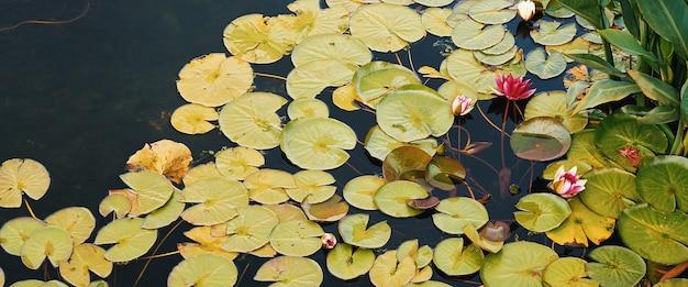 In de vijver zijn waterlelies rood en wit met grote groene bladeren die er omheen zweven