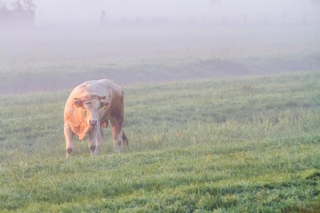 In de vroege ochtend op het land is er een koe in de mist