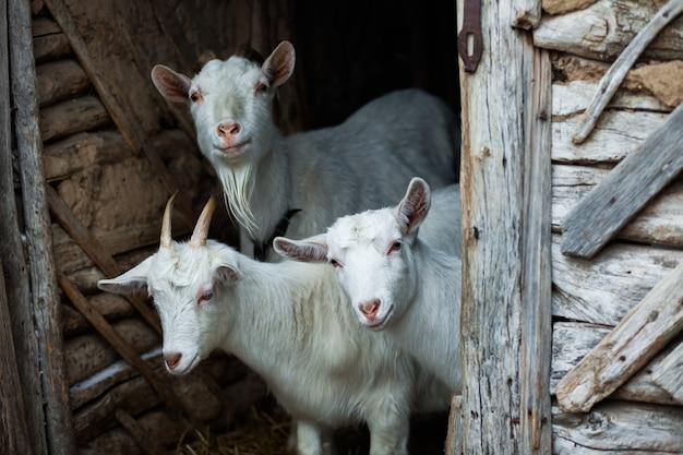 In de winter gluren geiten uit de schuur