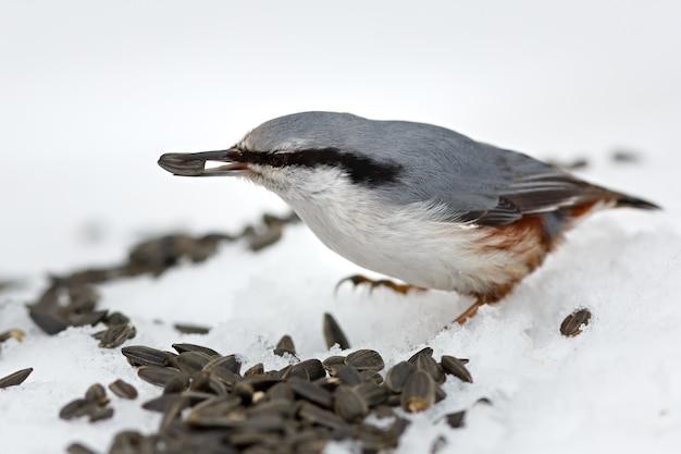 In de winter hongerige vogels voeren. sitta europaea