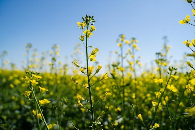 In de zomer bloeiend koolzaad in het olieveld