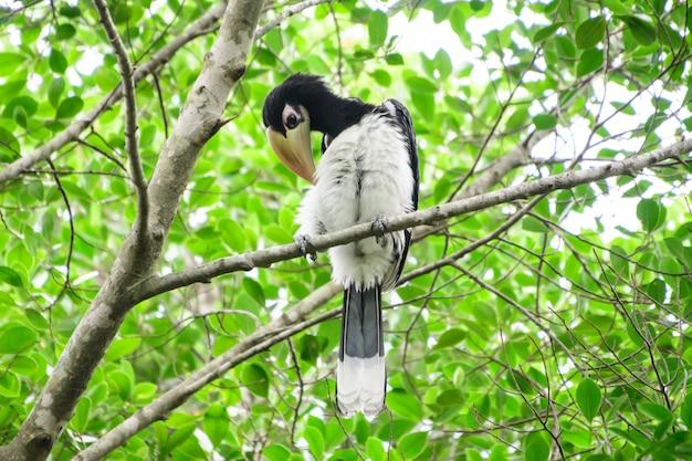 In een compleet bos sommige dagen zullen we een levende zwarte neushoornvogel vinden