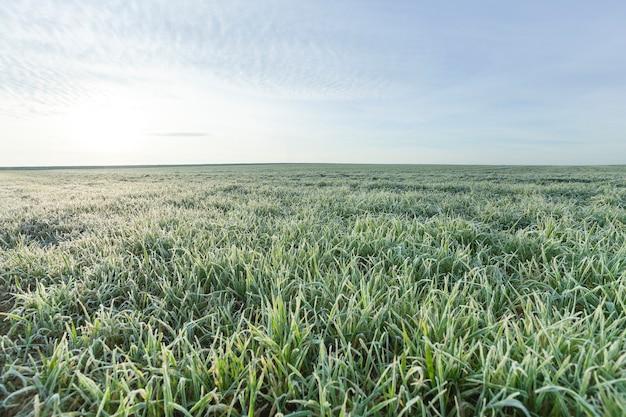 In een grafiek van dichtbij jonge grasplanten groene tarwe groeit op landbouwgebied, landbouw, herfstseizoen,