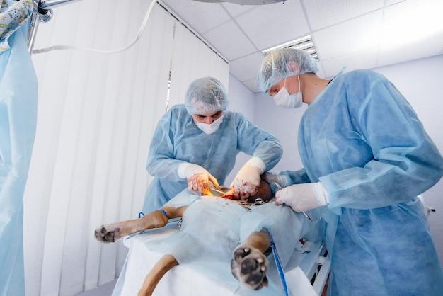 In een moderne dierenkliniek wordt een operatie uitgevoerd om het leven van een grote hond te redden. chirurgie en medicijnen.