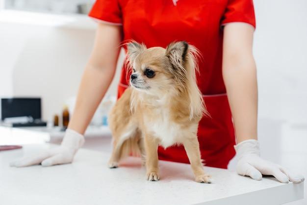 In een moderne dierenkliniek wordt een volbloed chihuahua op tafel onderzocht en behandeld. dierenkliniek
