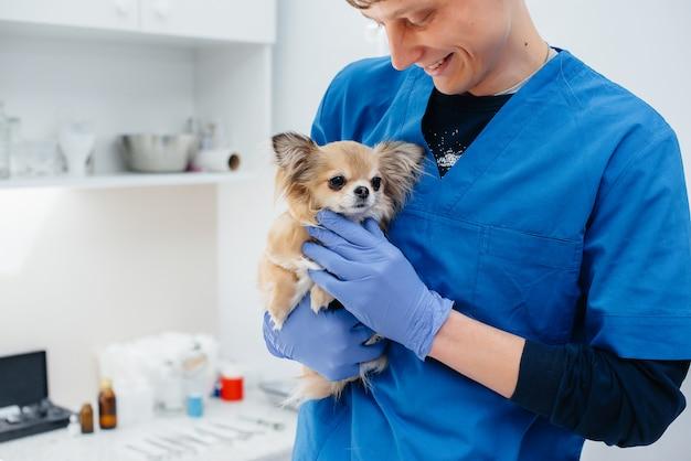 In een moderne dierenkliniek wordt een volbloed chihuahua op tafel onderzocht en behandeld. dierenkliniek.