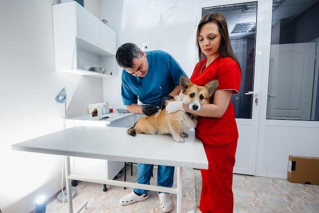 In een moderne dierenkliniek wordt een volbloed corgi-hond onderzocht. dierenkliniek