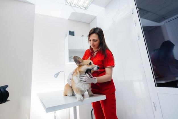 In een moderne dierenkliniek wordt een volbloed corgi-hond onderzocht. dierenkliniek.