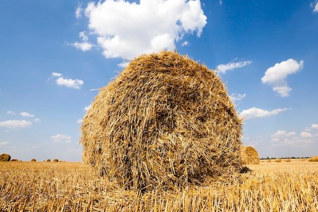 In een stapel blijft gedraaid stro in het veld na het oogsten van granen