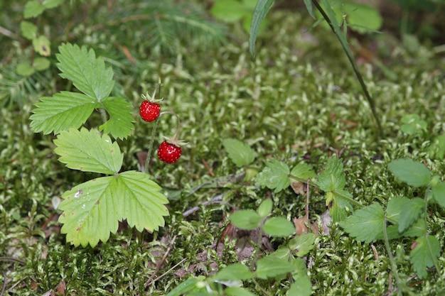 In het bos groeien wilde aardbeien. bos rode bes groeit in het gras. we verzamelen wilde aardbeien in het bos.