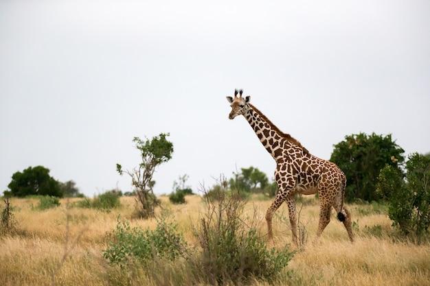 In het landschap van de savanne loopt een giraf tussen de bush