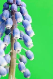 In het voorjaar zijn de eerste bloemen paars