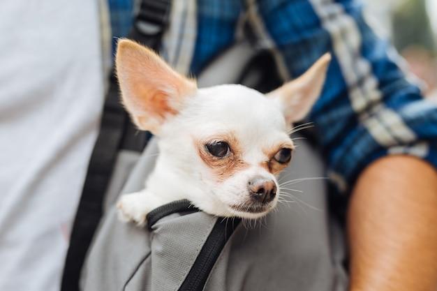 In rugzak. leuke grappige kleine hond die zich kalm en vrij voelt terwijl hij in de lichtgrijze rugzak van zijn baasje zit