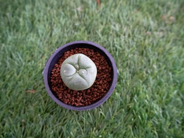 In selectieve focus van cactus in zwarte pot bloem op groen gras begane grond show detail en textuur van soorten ,, wazig licht rond